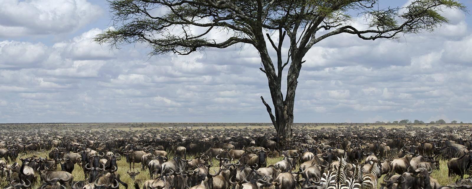 Grosse Migration Suedliche Serengeti Slider